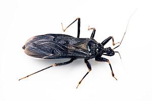 Triatomine, Assassin, or Kissing Bug